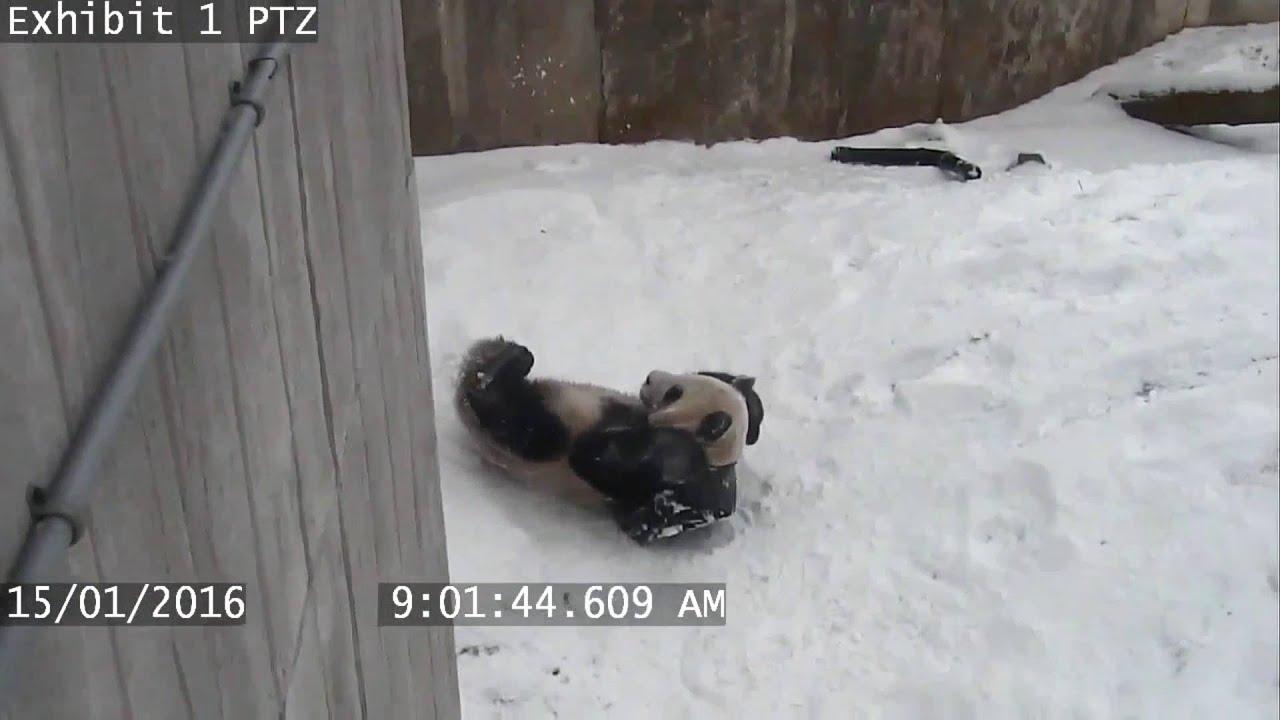 Elképesztő lelkesedéssel játszik a panda a hóban- videó