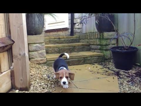 Eddie the beagle/Dumbo