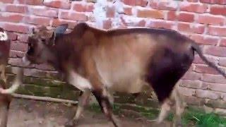 2016 Livestock farms in sylhet Bangladesh for Eid Ul Adha (bakra Eid)