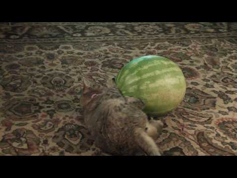 Sonar The Blind Cat vs Catnip Watermelon (Short Version) Video