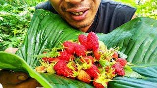 Buah Hutan | Memetik dan makan Berry hutan (Ucen) yang menyegarkan. Buah yang sudah langka.