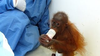Motherless Baby Orangutan Is Loved For the First Time