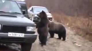 Водители на трассе кормят медведей с рук