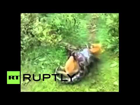 India: AMAZING footage shows dog escape pythons DEATH GRIP
