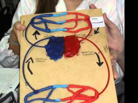 Como hacer un aparato circulatorio con material reciclable - Imagui