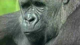 Gorila haciendo fuerza :)