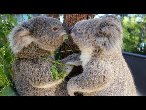 Koalas schützen: In vielen Regionen Australiens ausgestorben