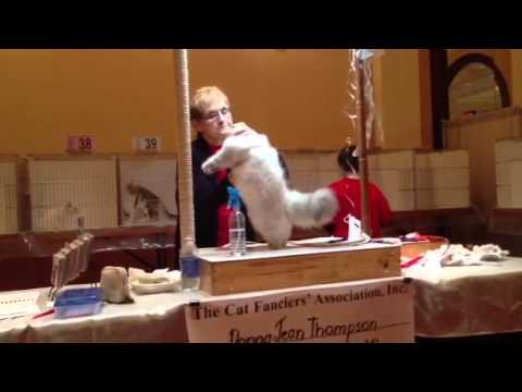 Fluffy Charm Lady Bella Nealle CFA show 2013