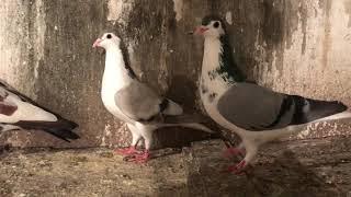 My Rangeen pigeons !! Shustru !! Kaabre !! Shirazi !! Laal !!