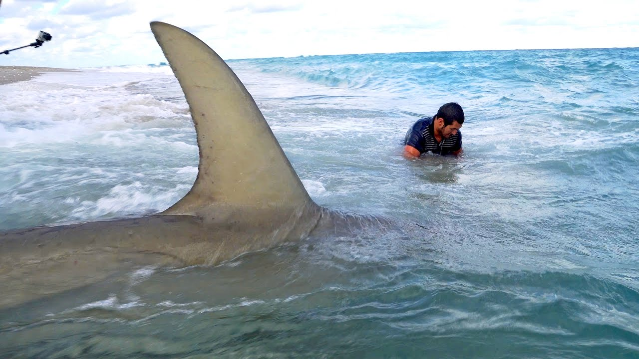 The biggest shark in the world caught