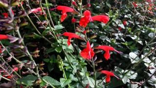 Salvia Coccinea - Scarlet Sage - Tropical Sage HD 01