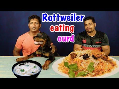 3 MONTHS OLD STONIE ( ROTTWEILER ) Vs CURD AND BIRYANI CHALLENGE || ROTTWEILER PUPPY FOOD EATING