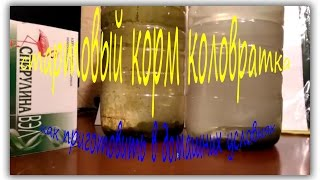 Стартовый корм коловратка -  как приготовить в домашних условиях.Starter feed rotifer - how to...