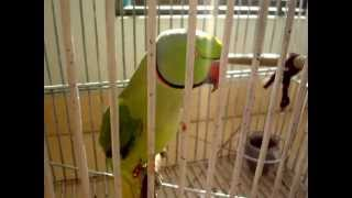 talking parrot(pakistani indian ringneck)