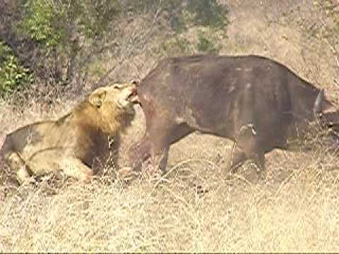 Honey badger vs lion testicles - photo#9