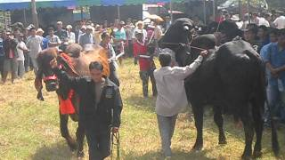 SIBA : Thai Indubrazil Cattle Contest , 23 Oct