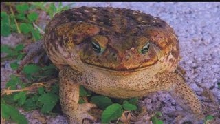 Pet owners beware: Poisonous toad returns to SW Fla.