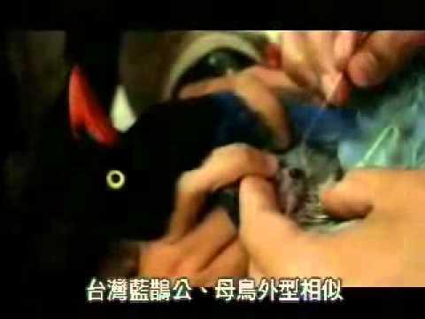 【陽明山國家公園管理處】台灣藍鵲的故事-分辨雌雄