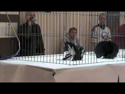 GorillaPosition.com - Fantail pigeon 2.WMV