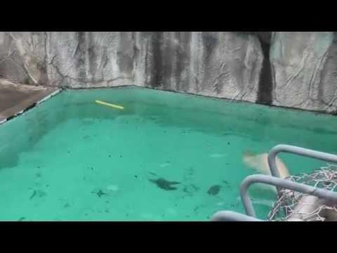 ホッキョクグマ・キロルの見事な背泳ぎ(20110522 浜松市動物園)