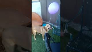 Funny dog getting a balloon