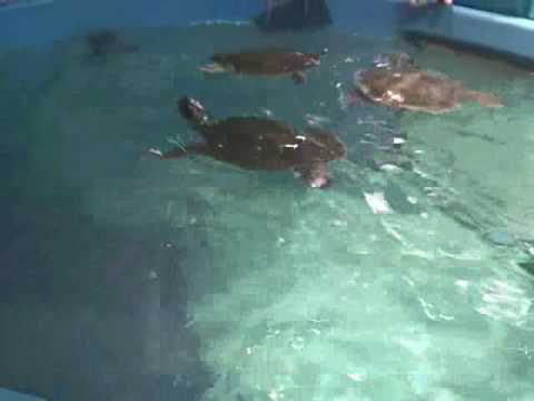 Rescued Loggerhead Sea Turtles @ New England Aquarium