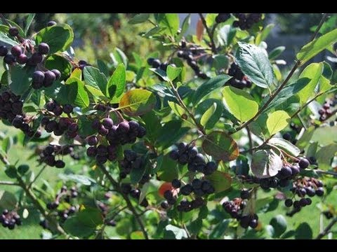 aronia pflanze im garten aronia beeren am strauch youtube. Black Bedroom Furniture Sets. Home Design Ideas