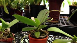 """How to care for orchids"" Rebloom a Phalaenopsis Orchid on an old spike : Mini Phalaenopsis Orchid"