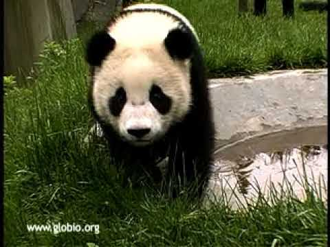 Baby Giant Pandas Playing