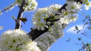 IVICA PEPELKO - Kad procvatu jabuke