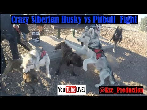 Siberian Husky & Pitbull scuffle, How To Live Stream On Youtube App, strong breeds