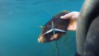 Spearfishing Windang Is. Part 2