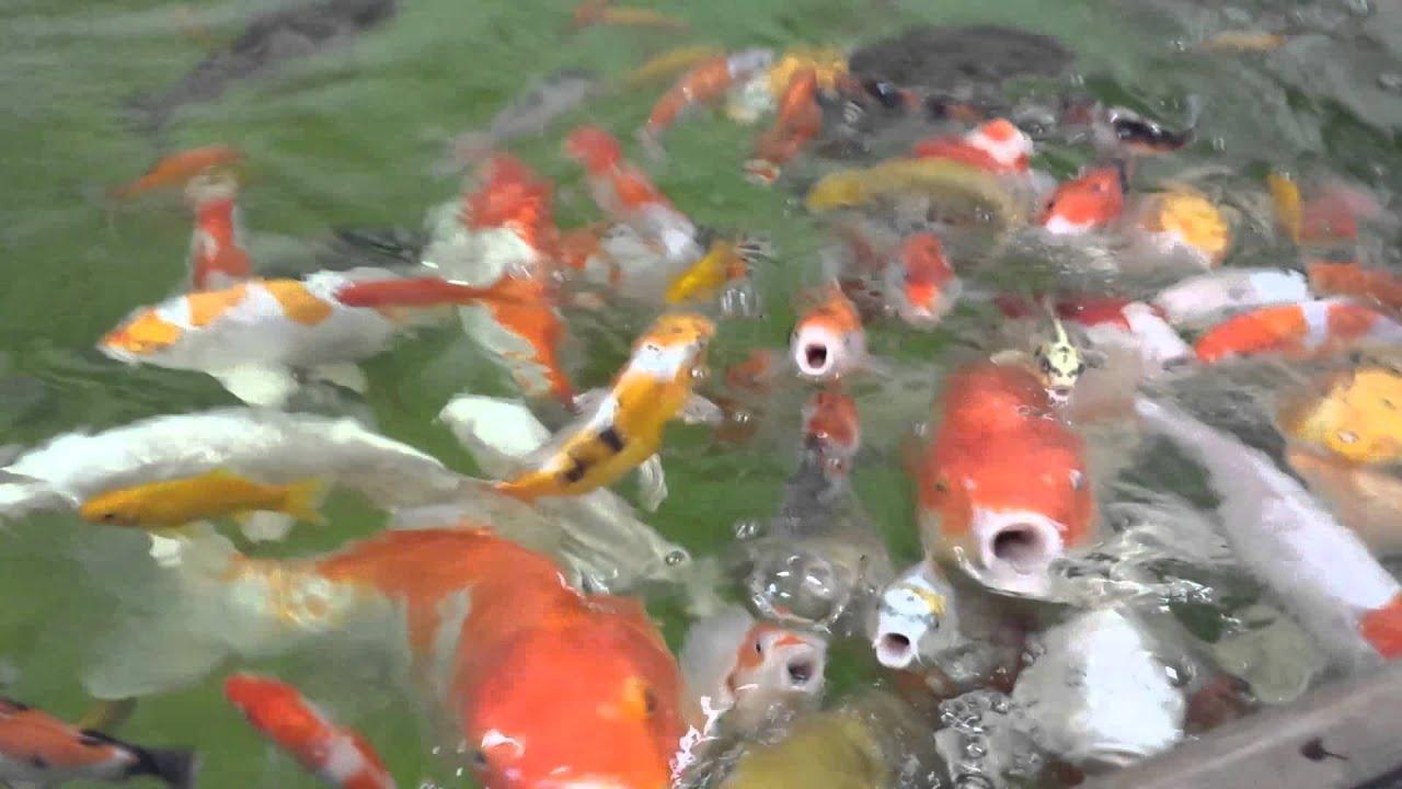 Feeding some giant ornamental koi carp fish youtube for What to feed baby koi