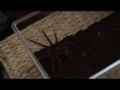 Goliath Birdeater tarantula unboxing & review (Backwater Reptiles)