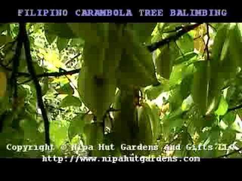 FILIPINO CARAMBOLA FRUIT TREE BALIMBING