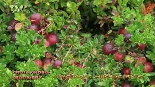 Flora View - Grote Veenbes - Cranberry - Vaccinium macrocarpon