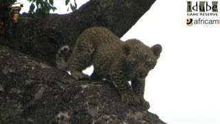 Leopard And Cub - Life Outside The Bushcamp - 1: First Time With A Kill In A Tree #youtubeZA