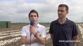 Cipolla, nuove varietà e difesa-diserbo - Visita in campo