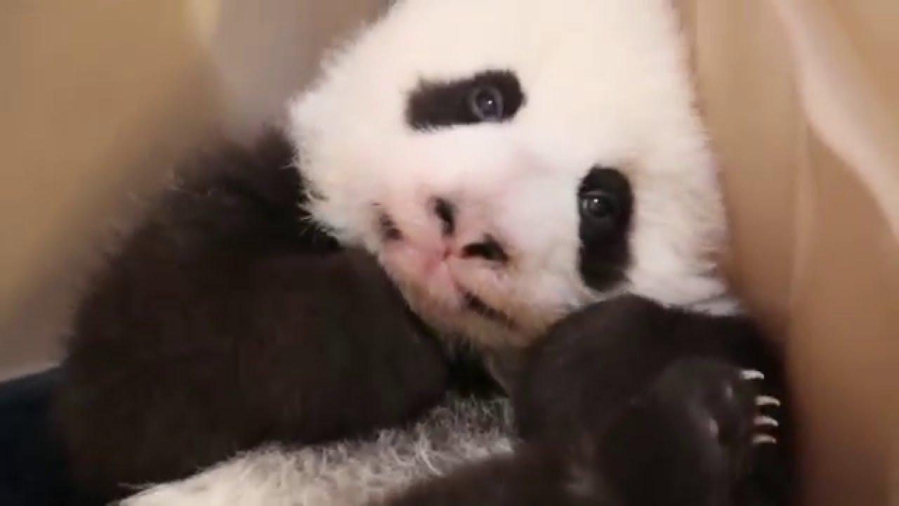 Így ásít a néhány hetes pandabébi - videó