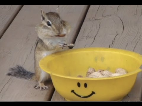 Cheezburger : Chipmunk Face Stuff