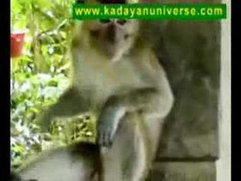 Lonely Sex Borneo - Poco-poco Sexy Malay Monkey video