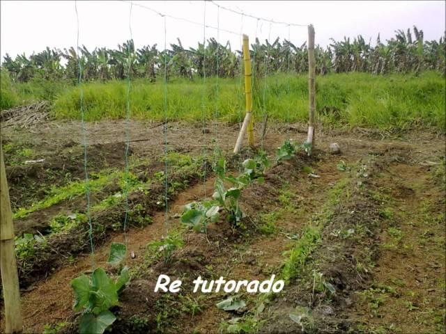 Cultivo de Pepino!.wmv
