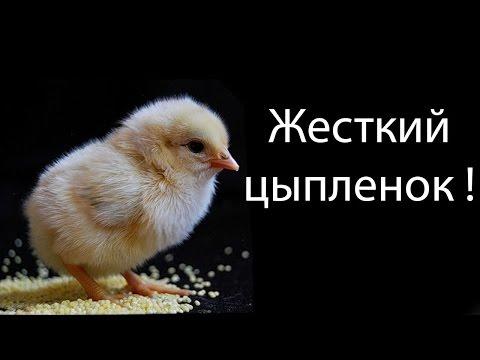 Жесткий цыпленок !