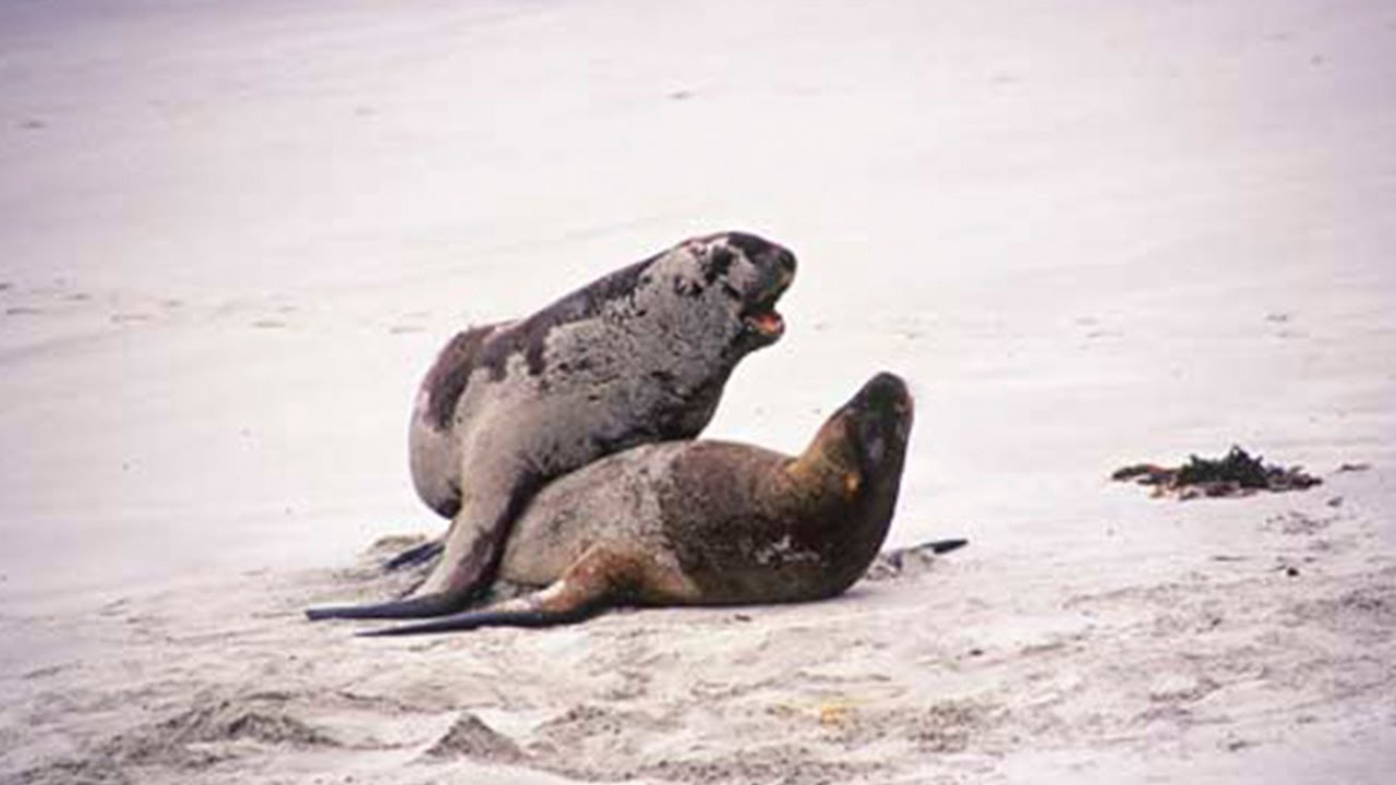 Sea lions mating - photo#1