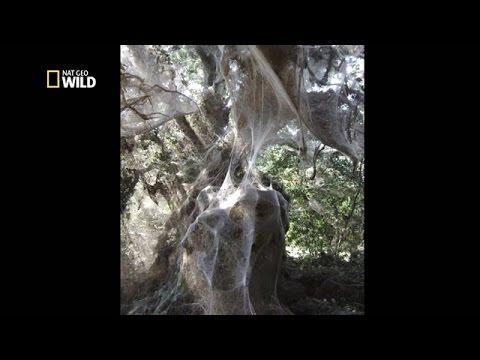 la plus grande toile d araign 233 e du monde