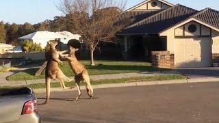 Watch: Dramatic kangaroo fight unfolds on suburban Australia street