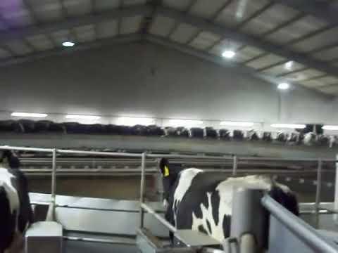 Ordeña de rueda de 80 vacas