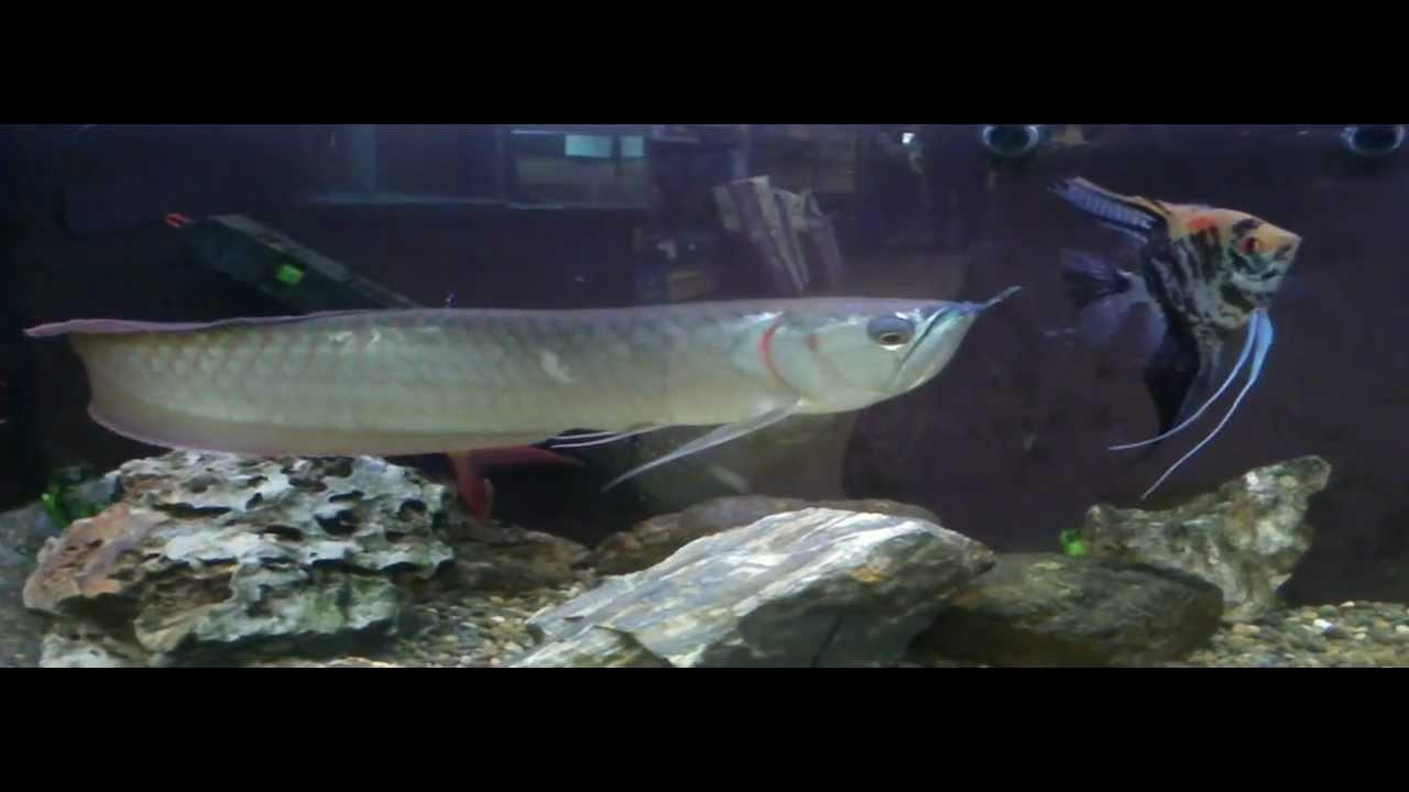 Big Pet Big Huge Fish,sold to Pet Shop