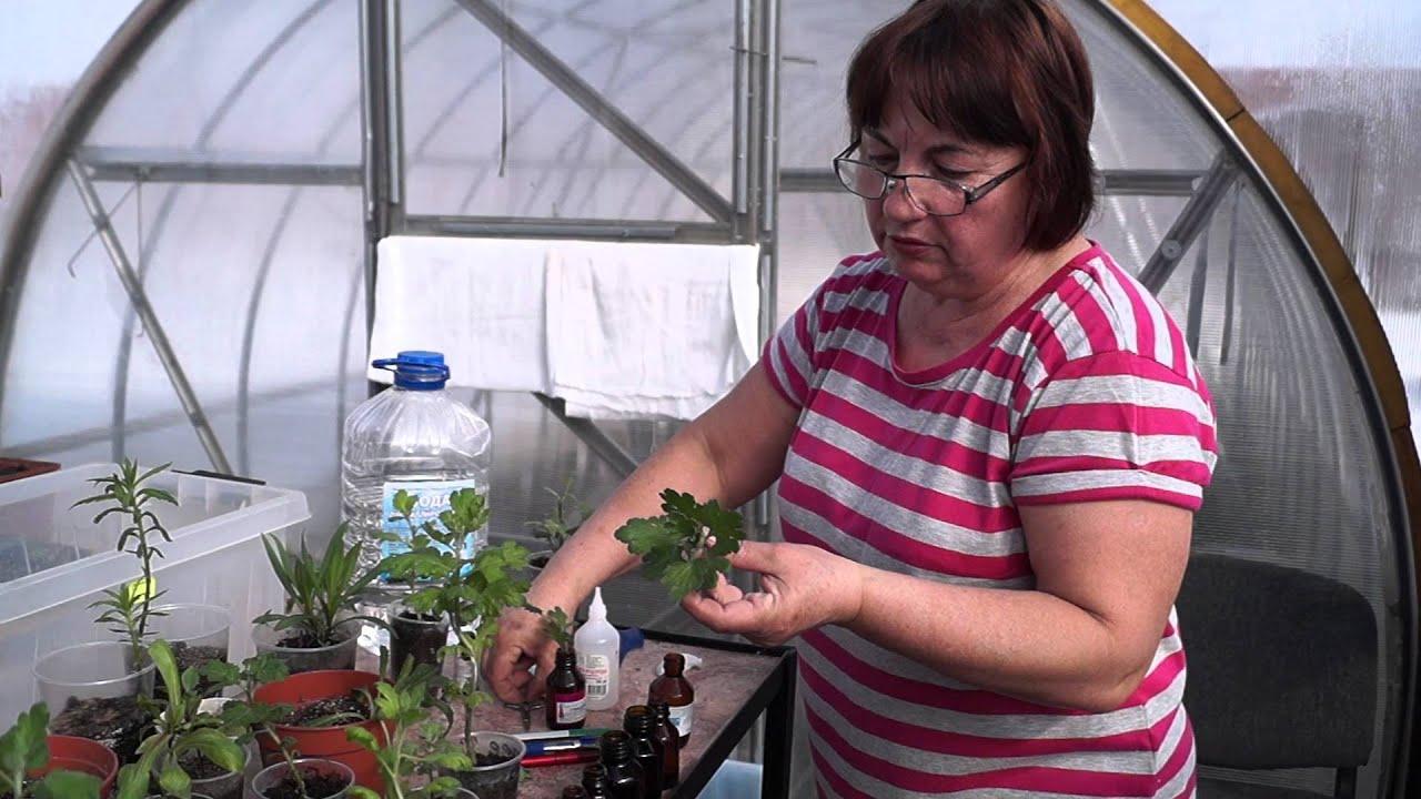 Выращивание хризантем из черенков из букета 56