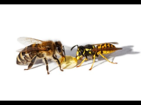 What To Do For A Yellow Jacket Sting